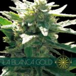 La Blanca Gold Feminised Seeds - 5-seeds