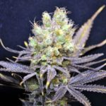Nordle CBD Feminised Seeds - 5-seeds