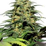 Big Bud Feminised Seeds - 20-seeds