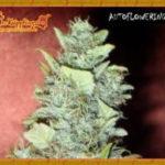 Bubba Gum Auto Feminised Seeds - 5-seeds