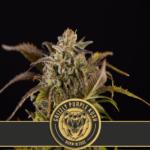 Grizzly Purple Kush Feminised Seeds - 5-seeds