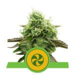 Sweet ZZ Auto Feminised Seeds - 5-seeds