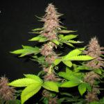 Bizarre Regular Seeds - 10-seeds