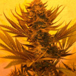 White Critical Express Feminised Seeds - 3-seeds