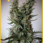 Jack Ultra CBD Feminised Seeds - 3-seeds