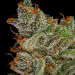 King's Kush Feminised Seeds - 3-seeds